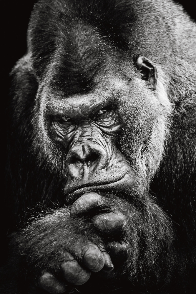 Plexiglas gorilla 80x120