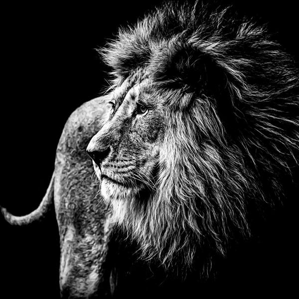 Fotokunst leeuw glas 100x100