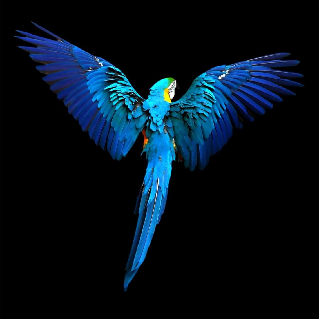 Dibond papegaai 100x100