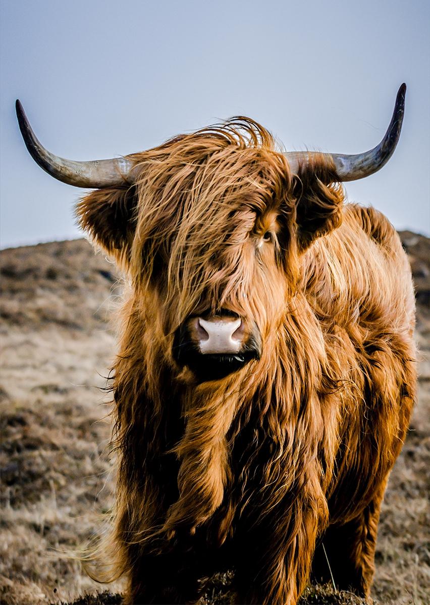 Schotse hooglander op glas 70x100
