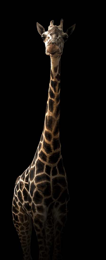 Giraffe op glas 50x125