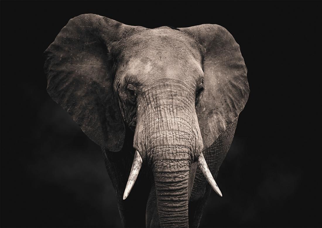 Elephant II op glas 70x100
