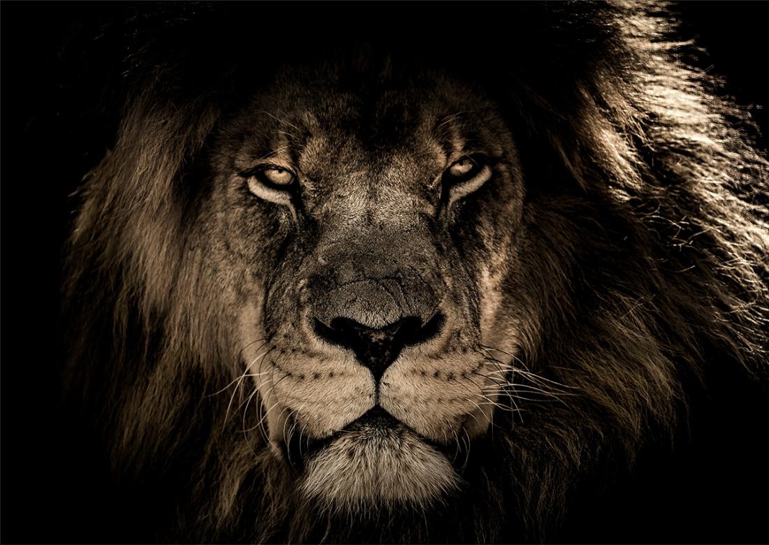 Leeuw eyes on the prey op glas 70x100
