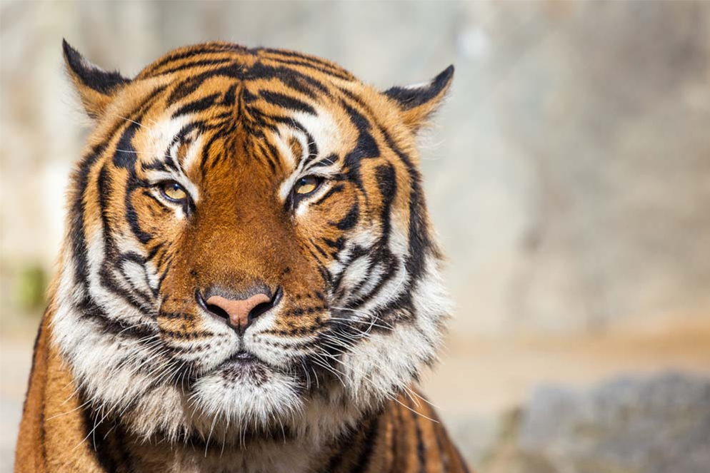 Plexiglas tijger 80x120