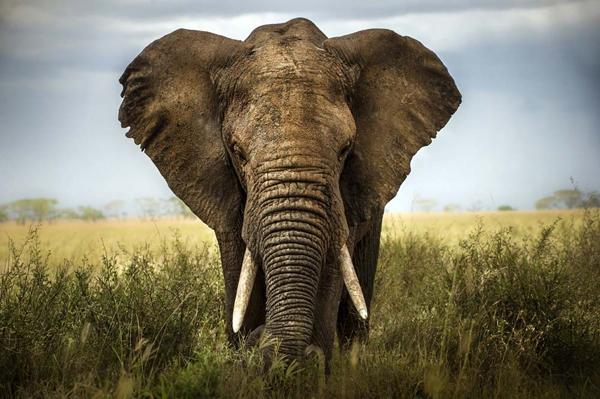 Plexiglas olifant 80x120