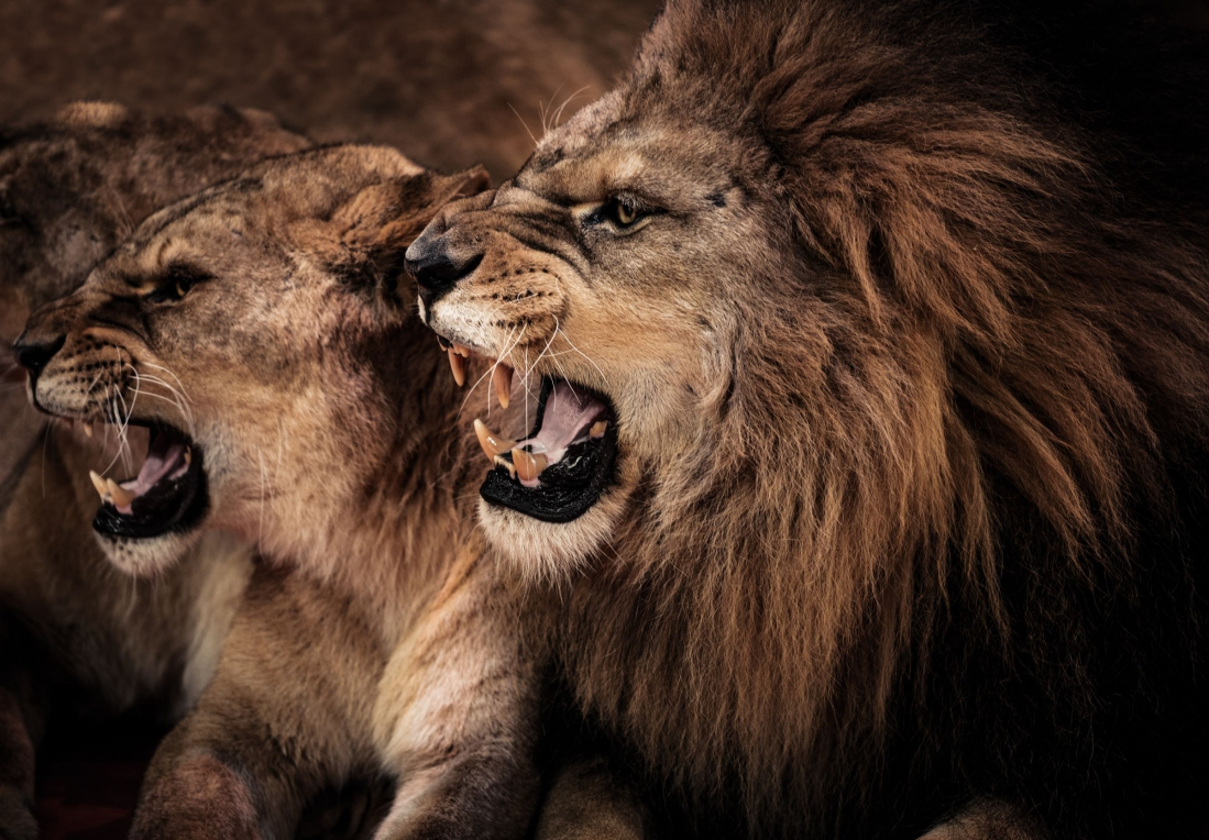 Fotokunst lion queen and king 75x100