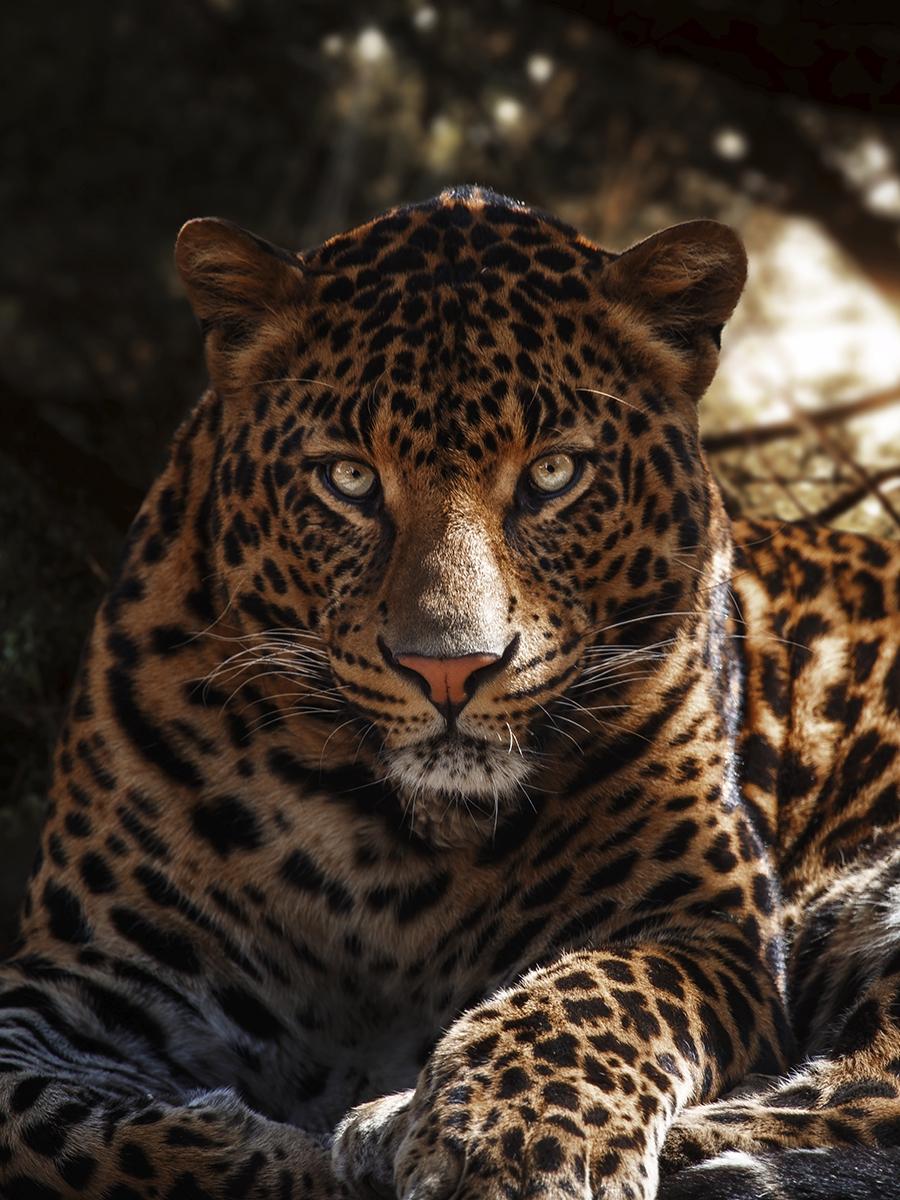 Fotokunst luipaard 100x75