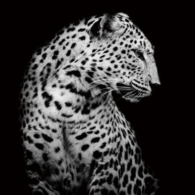 Luipaard op glas 100x100