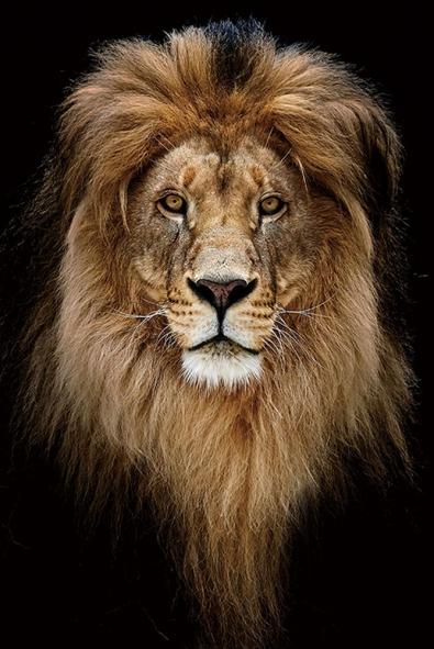 Leeuw op glas 80x120