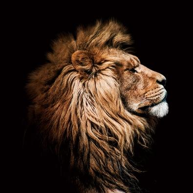 Leeuw op glas 100x100