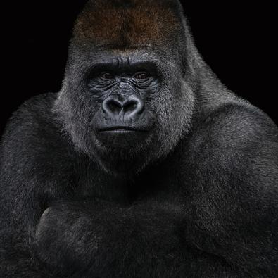 Gorilla op glas 100x100