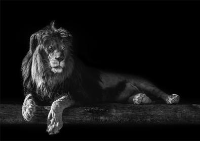 Lion op glas 70x100