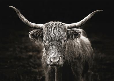 Scottish highlander op glas 70x100