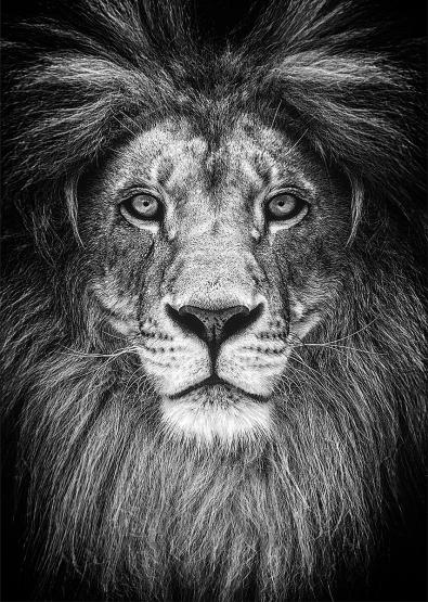Leeuw op glas 70x100