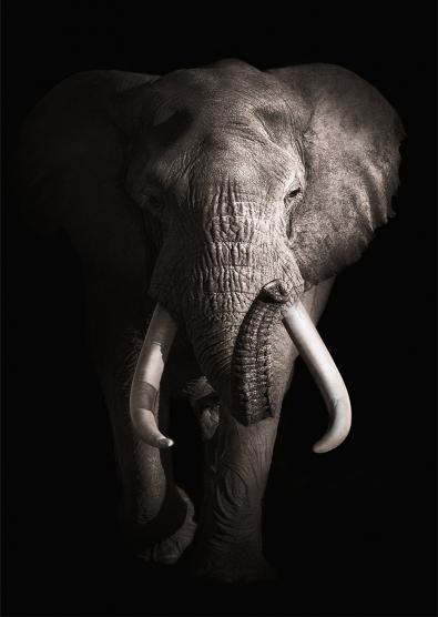 Elephant op glas 70x100