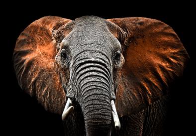 Fotokunst olifant 75x100